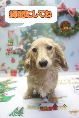 ミニチュア・ダックスブリーダーの成犬,トリミング画像