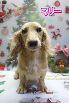 ミニチュア・ダックスのブリーダーの成犬,トリミング画像