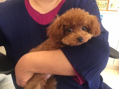 ティーカッププードルレッドの子犬メス、群馬県伊勢崎市ブリーダー画像