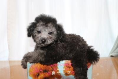 トイプードルシルバーの子犬オス、生後2ヵ月半画像