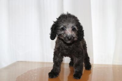 トイプードルシルバーの子犬メス、東京都台東区スウちゃん画像
