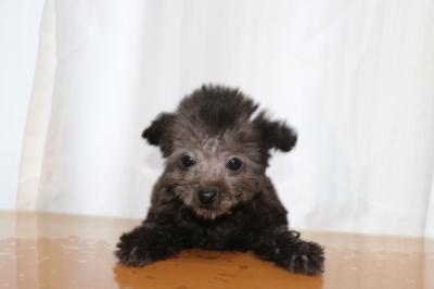 ティーカッププードルシルバーの子犬オス、生後2ヵ月半画像