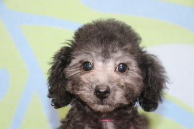 トイプードルシルバーの子犬メス、生後2ヵ月半画像