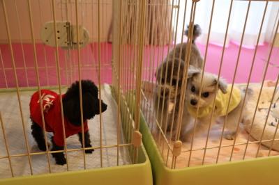 トイプードルシルバーブラック3頭飼い、三重県四日市市画像