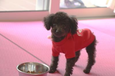 ティーカッププードルブラックの子犬メス、三重県四日市市メイちゃん画像