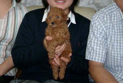 トイプードルレッドの子犬オス、千葉県船橋市チョコ君画像