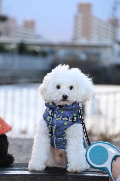 トイプードルホワイトオス、愛知県名古屋市大福君画像