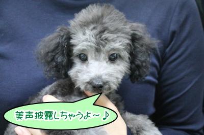 トイプードルシルバーの子犬オス、東京都杉並区リヒャルト君画像