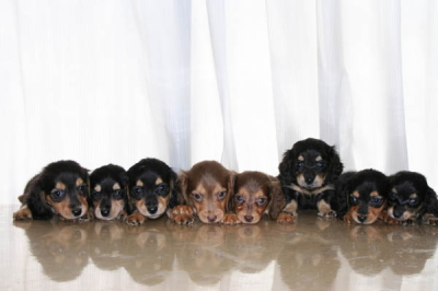 ミニチュアダックスブラックタンブラッククリームチョコタンチョコクリームの子犬8頭兄弟画像