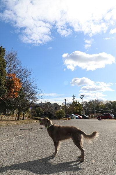 ワイマラナーメス、愛知県日進市画像