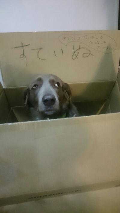 捨て犬ワイマラナーメス、愛知県日進市画像