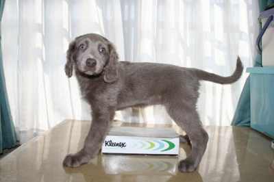 ワイマラナーの子犬メス、生後45日画像