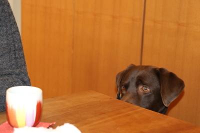 ラブラドールチョコ(チョコラブ)のオス、愛知県岡崎市ソウル君画像