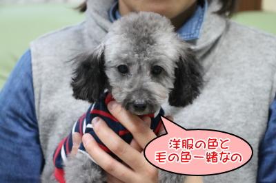 ティーカッププードルシルバーの子犬メス、埼玉県三芳町ピコちゃん