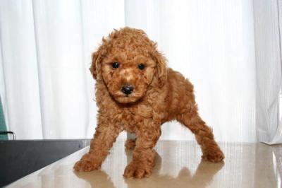 トイプードルレッドの子犬オス、生後50日画像