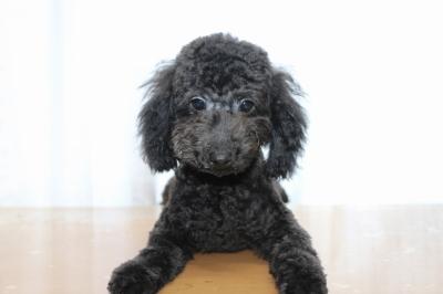 トイプードルブラック(黒)の子犬オス、生後5ヵ月