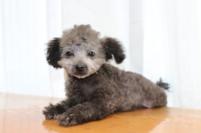 ティーカッププードルシルバーの子犬オス、生後3ヵ月画像