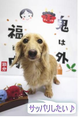 千葉県のトイプードルブリーダーの成犬,トリミング前画像