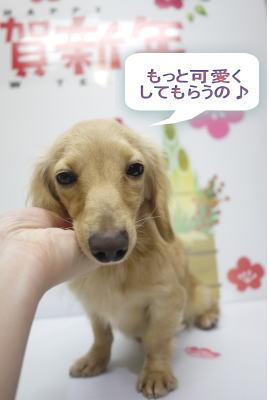千葉県のミニチュアダックスブリーダーの成犬,トリミング画像