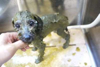 トイプードルブリーダーの子犬,ハーブパック画像