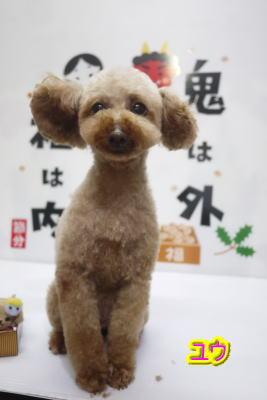 千葉県のトイプードルブリーダーの成犬,トリミング画像