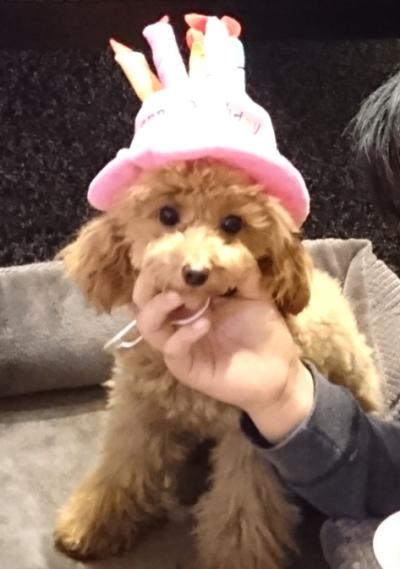 トイプードルレッドの子犬メス、東京都杉並区アネラちゃん