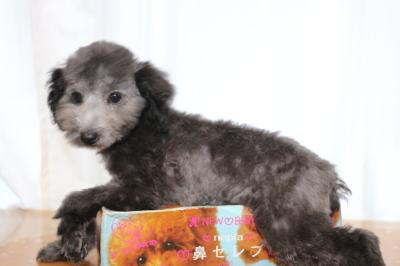 トイプードルシルバーの子犬メス、生後3ヵ月