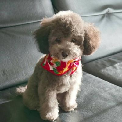 ティーカッププードルシルバーの子犬オス、神奈川県横浜市サニー君画像
