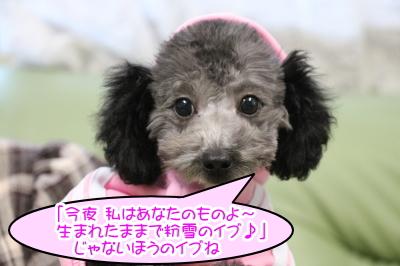 トイプードルシルバーの子犬メス、愛知県名古屋市イブちゃん