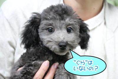 トイプードルシルバーの子犬オス、千葉県船橋市ぐり君画像