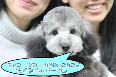 トイプードルシルバーの子犬オス、茨城県つくば市チャコ君画像