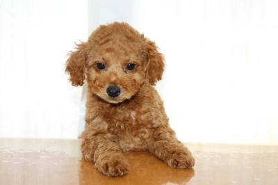トイプードルレッドの子犬オス、生後2ヵ月画像