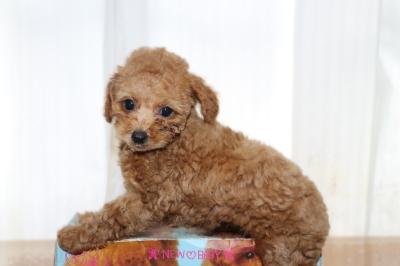 トイプードルレッドの子犬メ、生後2ヵ月画像