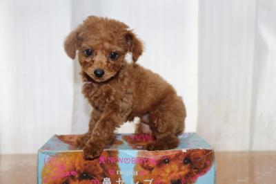 タイニーサイズトイプードルレッドの子犬メ、生後2ヵ月画像