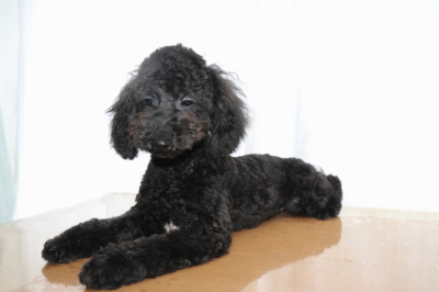 トイプードルブラック(黒)の子犬オス、生後半年画像