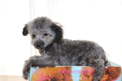 ティーカッププードルシルバーの子犬オス、生後4ヵ月画像