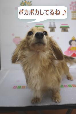 ミニチュアダックスのブリーダーの成犬,トリミング画像