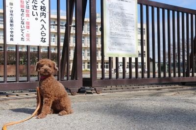 ペットホテルin千葉県トイプードルのマリンちゃんfrom市川市画像