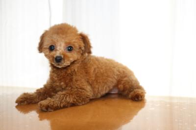 タイニーサイズトイプードルレッドの子犬メス、生後2ヵ月画像