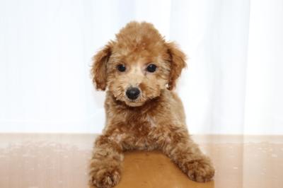 トイプードルレッドの子犬オス1頭、生後3ヵ月画像