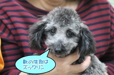 トイプードルシルバーの子犬オス、千葉県市川市ムックリン君画像