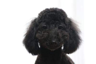 トイプードルブラック(黒)の子犬オス、生後7ヵ月画像