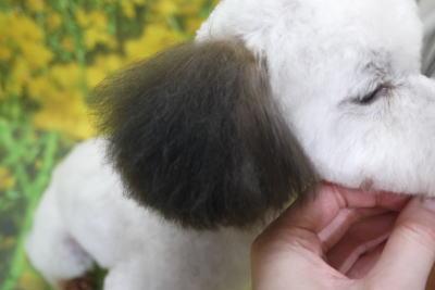 トイプードルブリーダーの成犬,カラーリング,トリミング画像