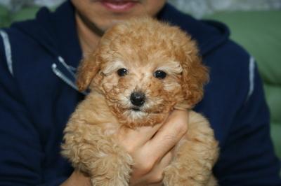 トイプードルアプリコットの子犬オス、生後2ヵ月画像