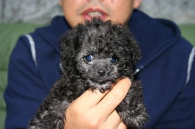 ティーカッププードルシルバーの子犬オス、生後2ヵ月画像