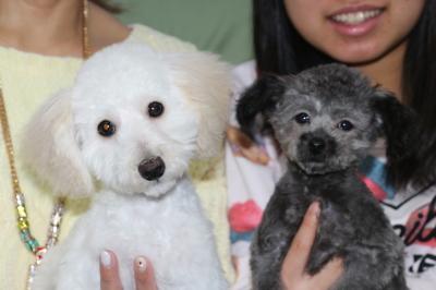 トイプードルホワイトの子犬オスとティーカッププードルシルバーの子犬オス、生後4ヵ月画像