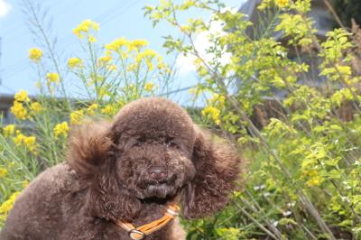 ペットホテルin千葉県トイプードルチャチャちゃんfrom千葉県茂原市画像