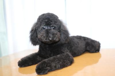 トイプードルブラック(黒)の子犬オス、生後7ヵ月半画像