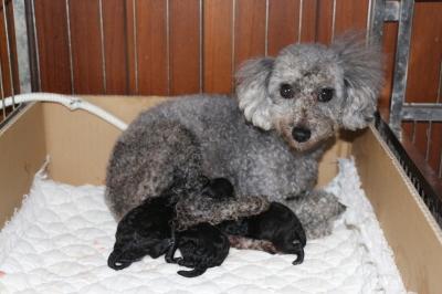 トイプードルシルバーの出産画像