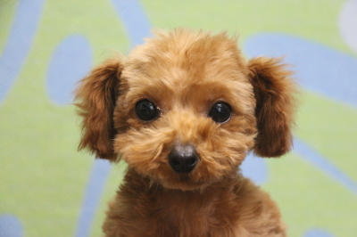 ティーカッププードルレッドの子犬メス、生後4ヵ月画像